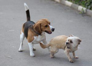 beagle kruising